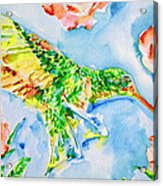 Hummingbird In The Roses Acrylic Print