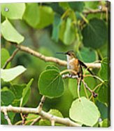 Hummingbird In Tree Acrylic Print