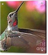 Hummingbird Intensity Acrylic Print