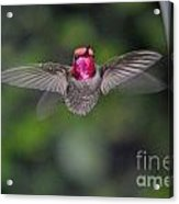 Hummingbird Male Anna's Flapping His Wings Acrylic Print