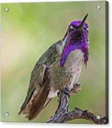 Hummingbird Male Costa Acrylic Print