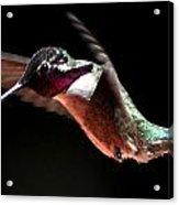 Hummingbird Male Costa's Decending  Acrylic Print