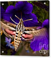 Hummingbird Moth   #8612 Acrylic Print