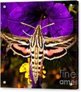 Hummingbird Moth   #8645 Acrylic Print