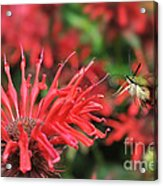 Hummingbird Moth Feeding On Red Flower Acrylic Print