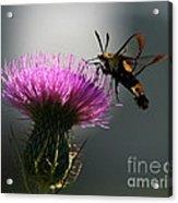 Hummingbird Moth II Acrylic Print