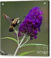 Hummingbird Moth Iv Acrylic Print
