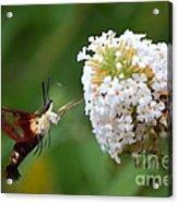 Hummingbird Moth Acrylic Print