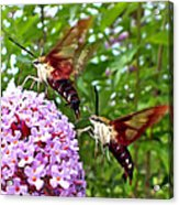 Hummingbird Moths Acrylic Print