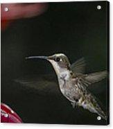 Hummingbird Acrylic Print by Nelson Watkins