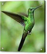 Hummingbird No 1 Acrylic Print
