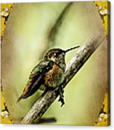 Hummingbird Noveau Acrylic Print