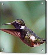 Hummingbird Of Ecuador Acrylic Print