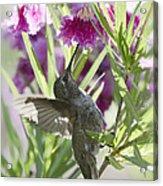 Hummingbird On A Desert Willow Acrylic Print