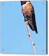 Hummingbird On Acacia Bush Twig Acrylic Print