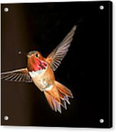 Hummingbird On Black Acrylic Print