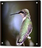 Hummingbird Photo - Side View Acrylic Print