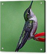 Hummingbird Profile Acrylic Print