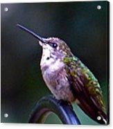 Hummingbird Sentry Acrylic Print