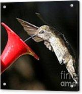 Hummingbird Sigh Acrylic Print
