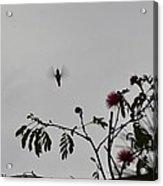 Hummingbird Silhouette I Acrylic Print