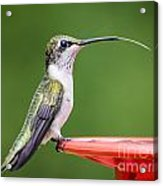 Hummingbird Sticky Her Tongue Out Acrylic Print