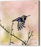 Hummingbird Stretch Acrylic Print