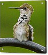 Hummingbird Stretching  Acrylic Print