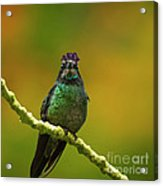 Hummingbird With A Lilac Crown Acrylic Print