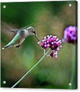 Hummingbird With Purple Verbena Acrylic Print