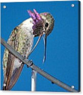 Hummingbird Yawn With Tongue Acrylic Print