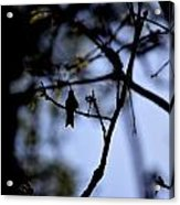 Hummingbirds 326 Acrylic Print