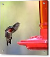 Hummingbirds 376 Acrylic Print