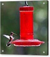 Hummingbirds 388 Acrylic Print