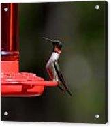 Hummingbirds 405 Acrylic Print