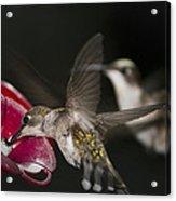Hummingbirds In Flight Acrylic Print by Nelson Watkins
