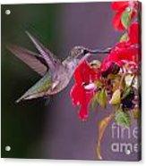 Hummy Feeding On Flower Acrylic Print