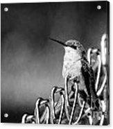 Hummy On Fence B And W Acrylic Print