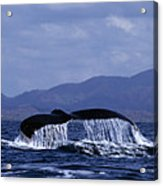 Hump Backed Whale Tail With Cascading Water Acrylic Print