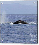 Humpback Pair Acrylic Print by Mike  Dawson