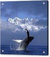 Humpback Whale Breaches In Clearing Fog Acrylic Print