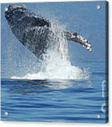Humpback Whale Breaching Acrylic Print by Bob Christopher
