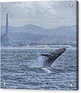 Humpback Whale Breaching By Shane Keena  Acrylic Print