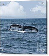 Humpback Whale Fin Acrylic Print