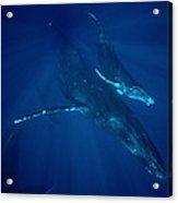 Humpback Whale Mother And Calf Hawaii Acrylic Print