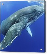 Humpback Whale Near Surface Acrylic Print