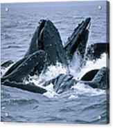 Humpback Whales Gulp Feeding On Herring Acrylic Print