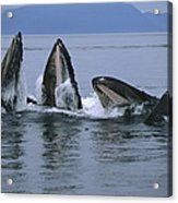 Humpback Whales Gulp Feeding Southeast Acrylic Print