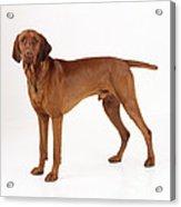 Hungarian Vizsla Dog Acrylic Print