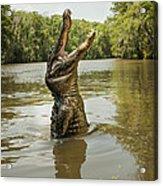 Hungry Alligator Acrylic Print